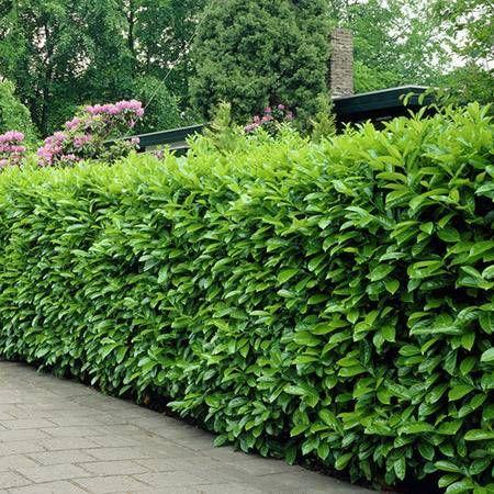 Cherry Laurel Centre Court Hedging Plants Laurel Hedge Laurocerasus