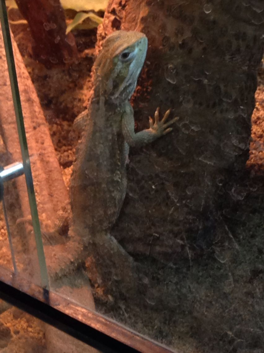 Rankins Dragons make great pets | Bearded Dragon Tips | Pinterest ...