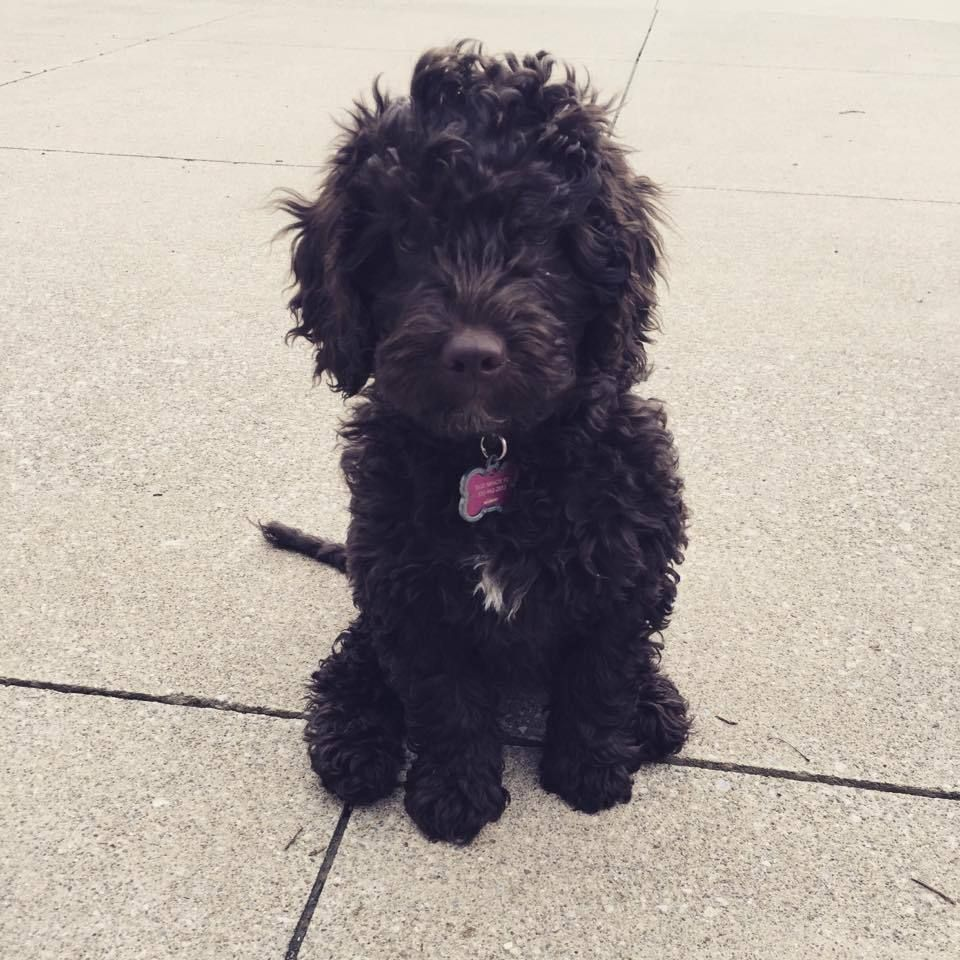Adorable Chocolate labradoodle from Ohio Valley Labradoodles ...