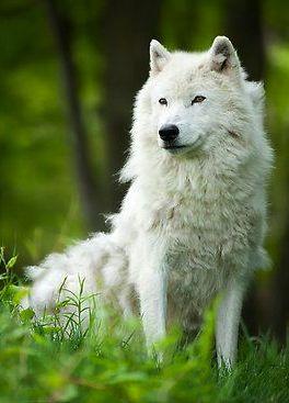 Arctic Wolf Shedding Winter Coat 166 By Bill Maynard