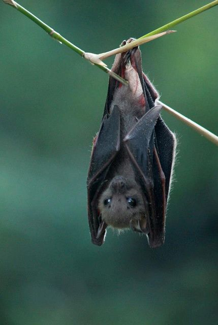 how to draw a bat hanging upside down