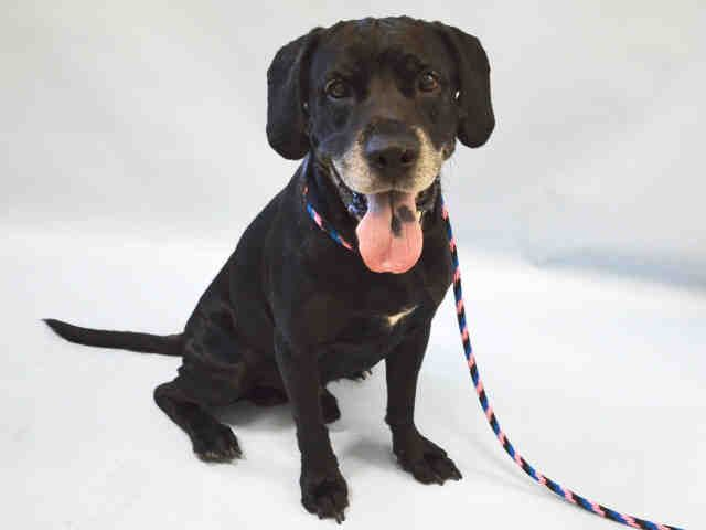 SAFE 8/26/02015 --- ADOPTER BACKED OUT --- SAFE 8-18-2015 --- Manhattan Center ZORRO – A1047904  MALE, BLACK / WHITE, LABRADOR RETR / CHOW CHOW, 7 yrs OWNER SUR – EVALUATE, NO HOLD Reason BITEPEOPLE Intake condition EXAM REQ Intake Date 08/14/2015