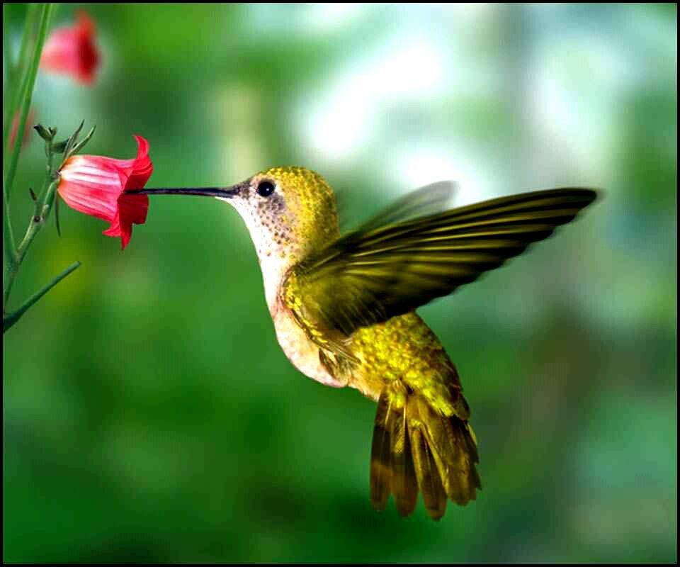 Humming Bird Hummingbird Pictures Bird Pictures Beautiful Birds