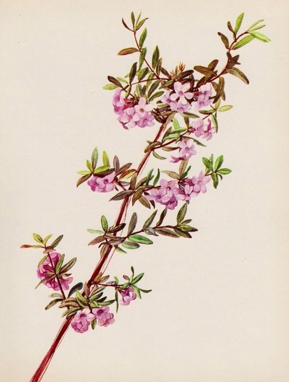 Vintage Pink Honeysuckle Print Pink Flower Botanical Print Art Gallery Wall Pink Gallery Wall Botanical Prints