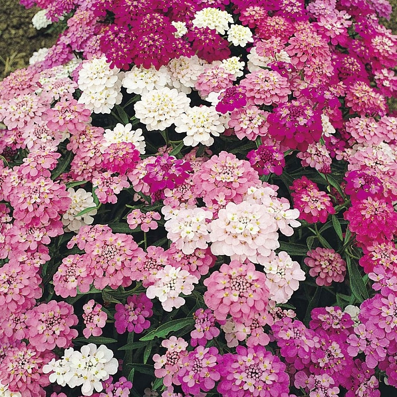 Candytuft Seeds Mixed Colors A Beautiful Mix Of Candytuft Is The Perfect Choice If You Like Them All Beautiful Flowers Garden Types Of Flowers Color Mixing