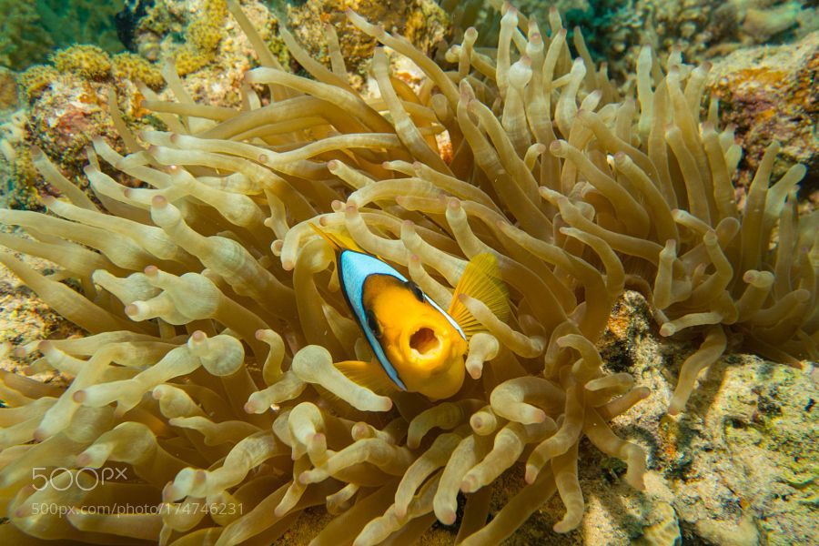 """Anemonefish aka Clownfish Go to http://iBoatCity.com and use code PINTEREST for free shipping on your first order! (Lower 48 USA Only). Sign up for our email newsletter to get your free guide: """"Boat Buyer's Guide for Beginners."""""""