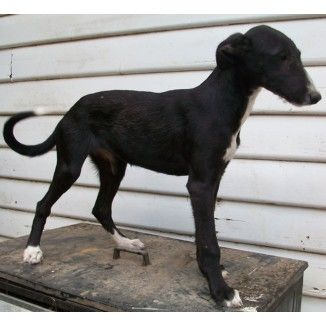 American staghound photo Staghound Purebred Puppies for