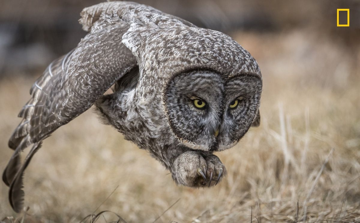 National Geographic Nature Photographer Of The Year 2017 Incredible Winners Of The 2017 National Geographic Nature Photographer Of The Year Contest With Images Great Grey Owl Gray Owl Owl