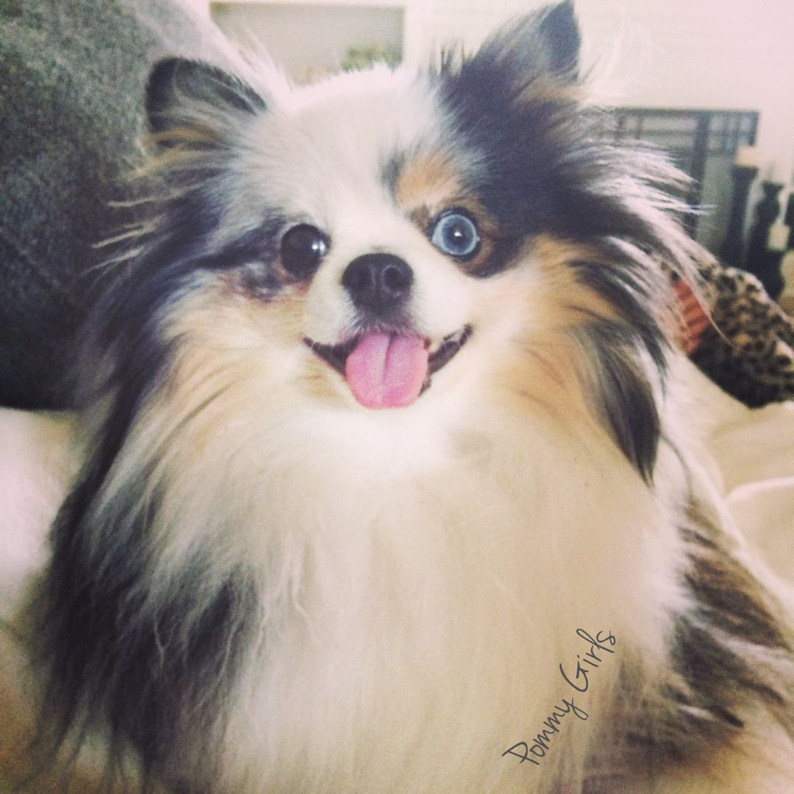 Search Pommy Girls on Facebook to see Bella!   .  .  .  Blue Merle Pomeranian.  Blue eyes,  parti pom, dog, pet, animal, fluffy, Tri color,  black & white.  Pure bred, toy breed.