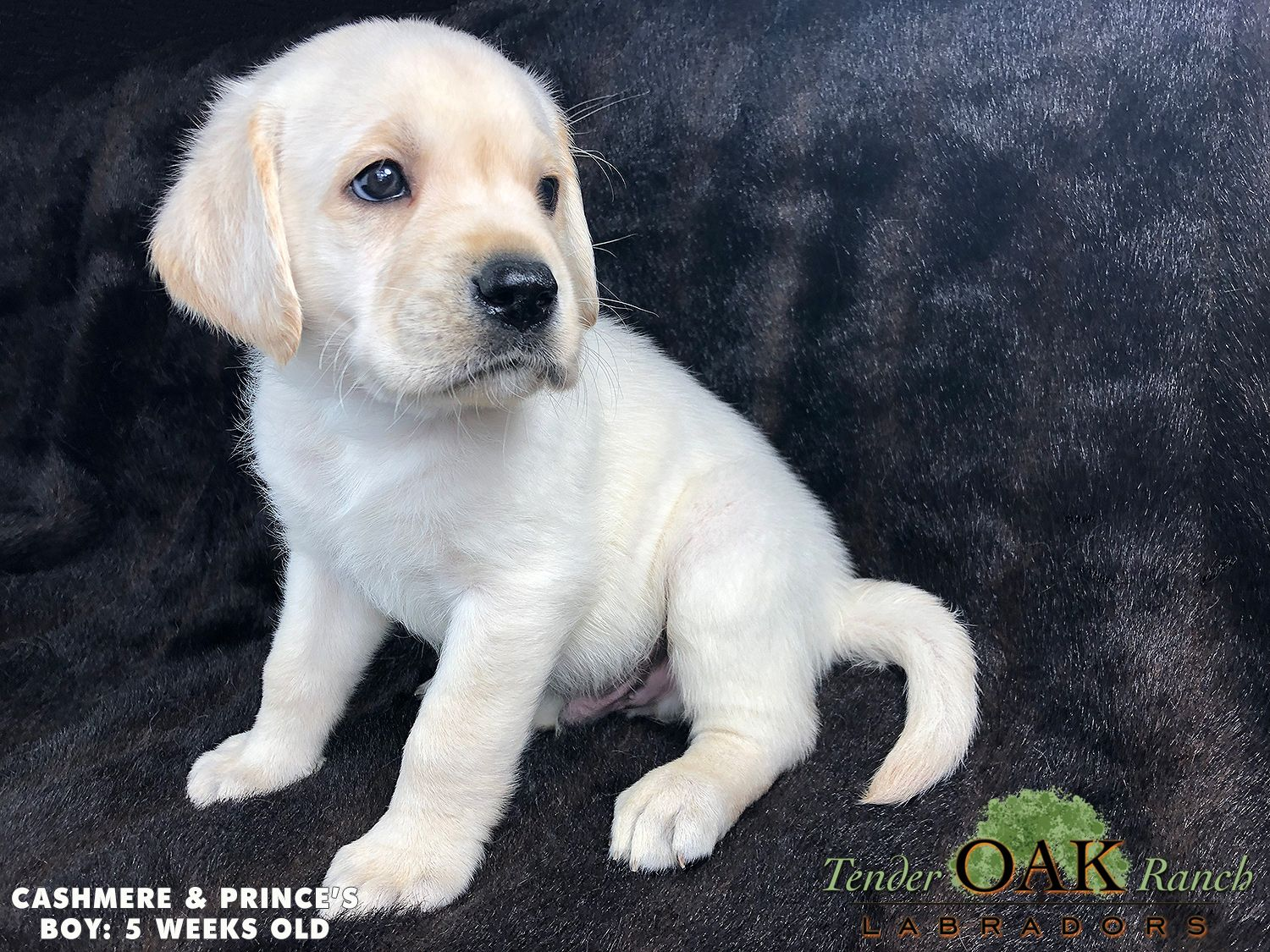 Pin By Tenderoaklabradors On Labrador Puppies For Sale English Lab Puppies Lab Puppies Labrador Puppies For Sale