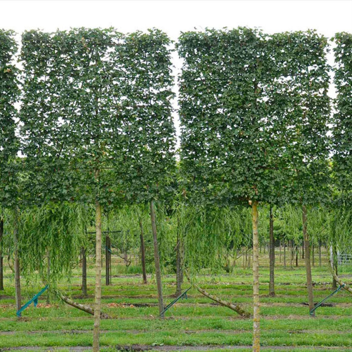 Ahornblättrige Platanen als Spalierbäume sind eine