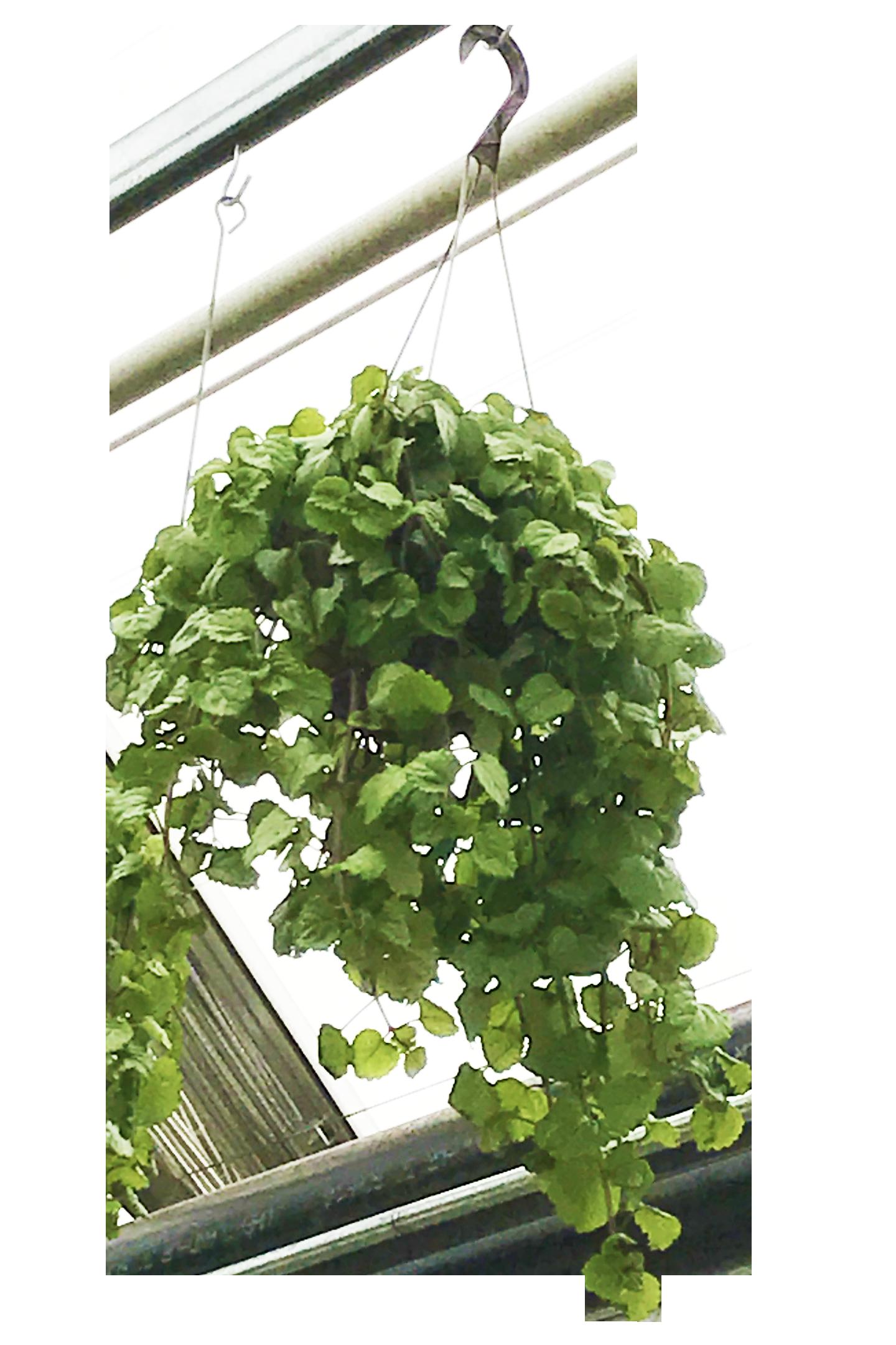 Swedish Ivy Hanging Basket Hanging baskets, Herbs, Flowers