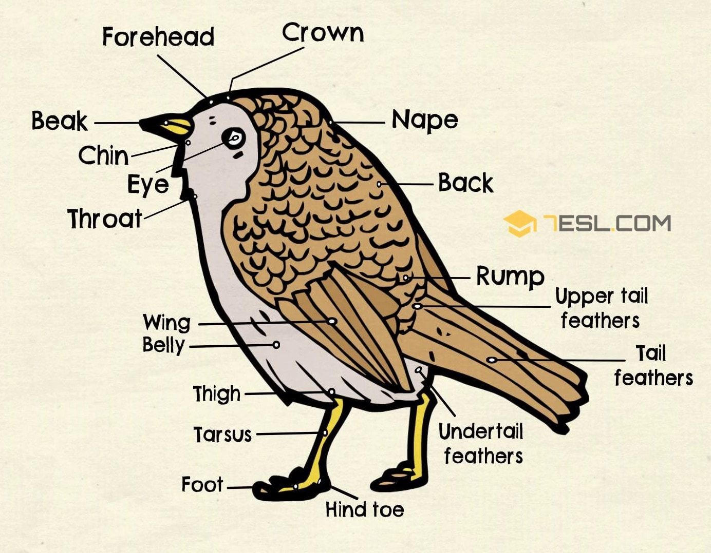 Different Parts Of A Bird In English