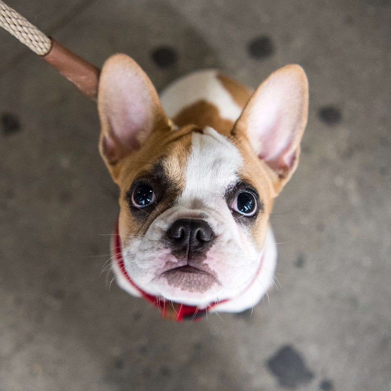 Cashew French Bulldog 5 M O 10th 3rd Ave New York Ny