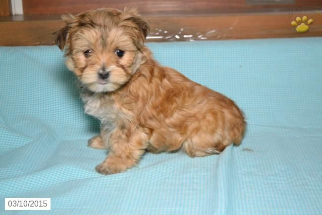 Morkie Puppy For Sale In Ohio Morkie Puppies Morkie Puppies For Sale Puppies For Sale