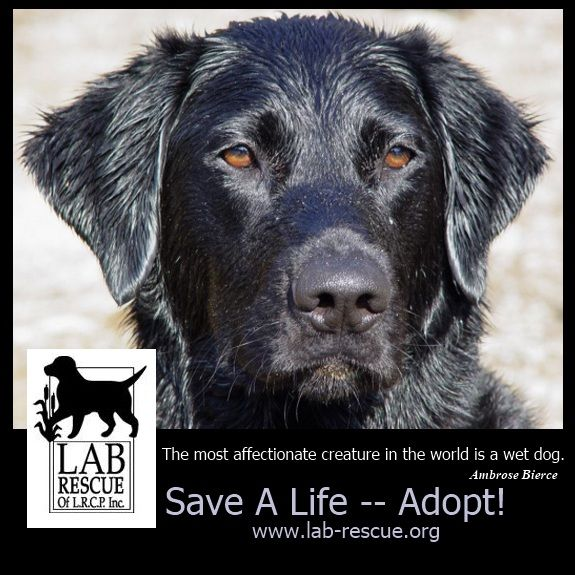 Omg Looks Exactly Like Our Rescue Walker Labrador Retriever