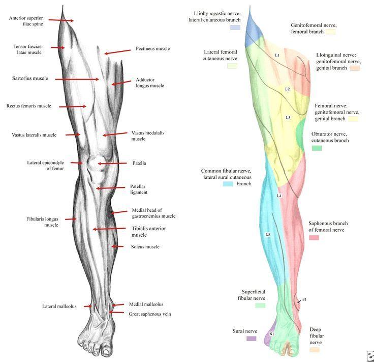 Leg Nerve Distribution Leg Dermatomes Google Search Step 2