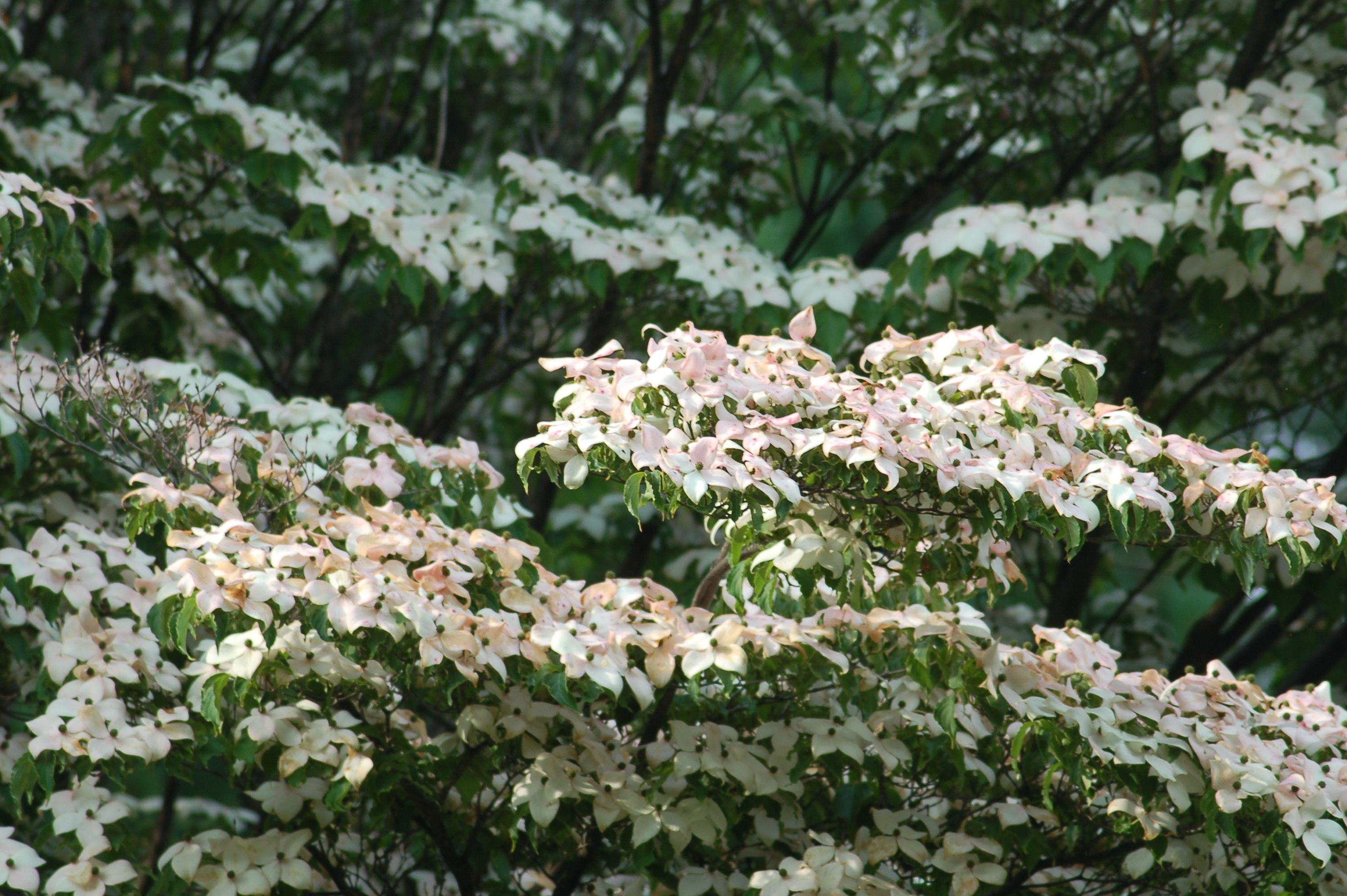 Flowering Dogwood Tree Varieties Dogwood Trees Flowering Trees Fast Growing Trees