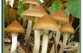 Azurescens |  Psilocybe Azurescens | Stuffed mushrooms, Food