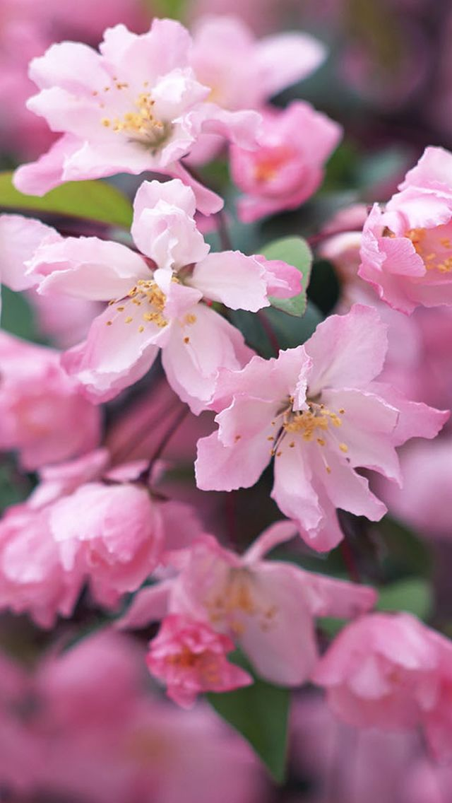 Nature Spring Flower Bloomy Branch Iphone 5s Wallpaper Fiori
