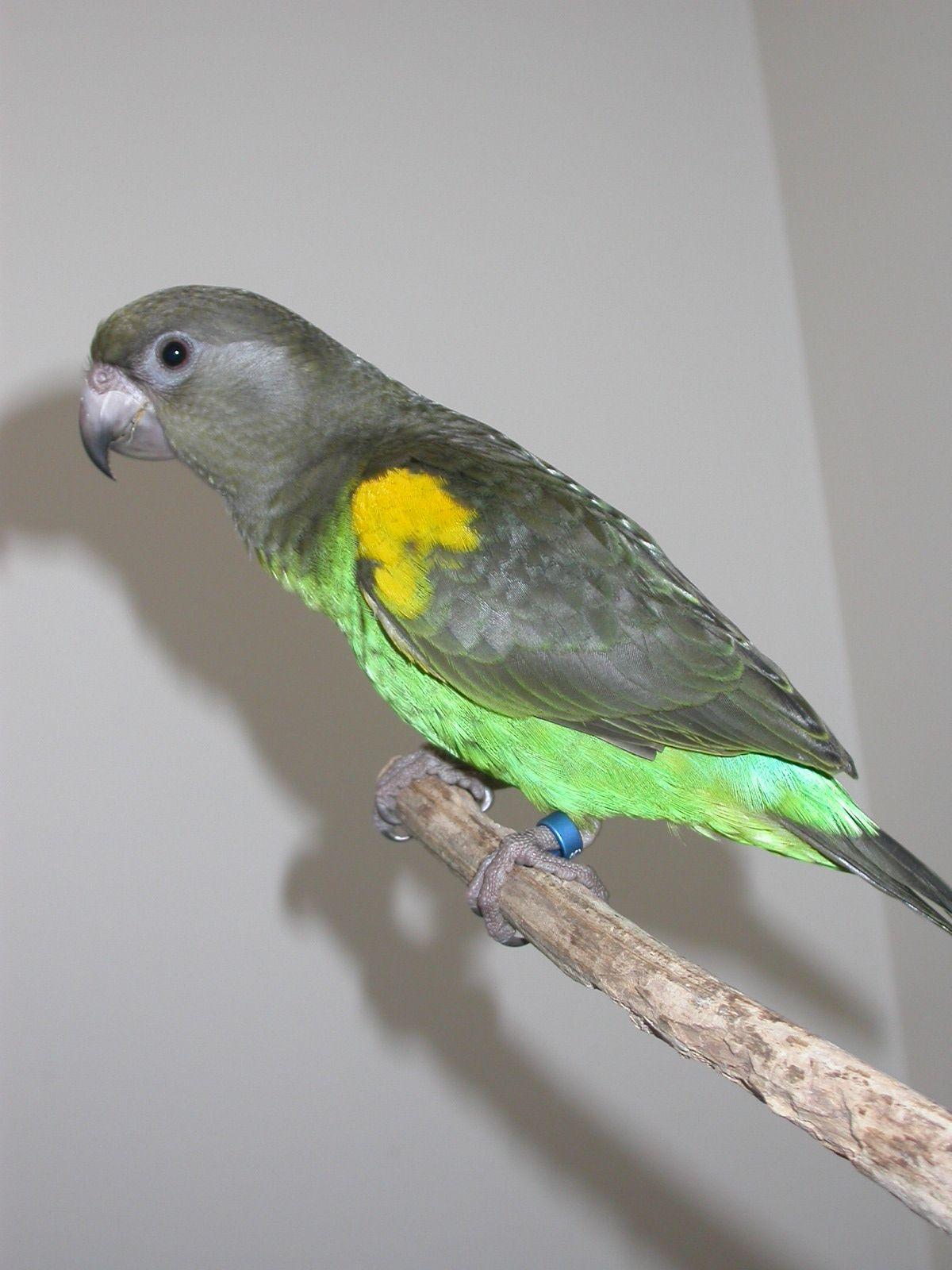 Parrot - Meyer's
