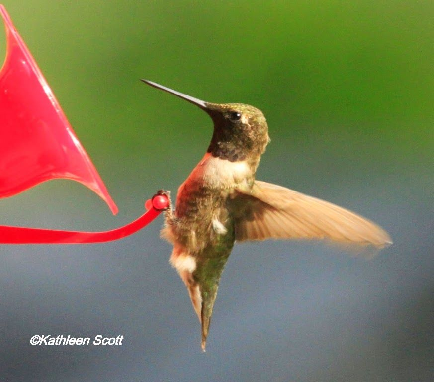 Hang out your feedersspring hummingbird migration is on