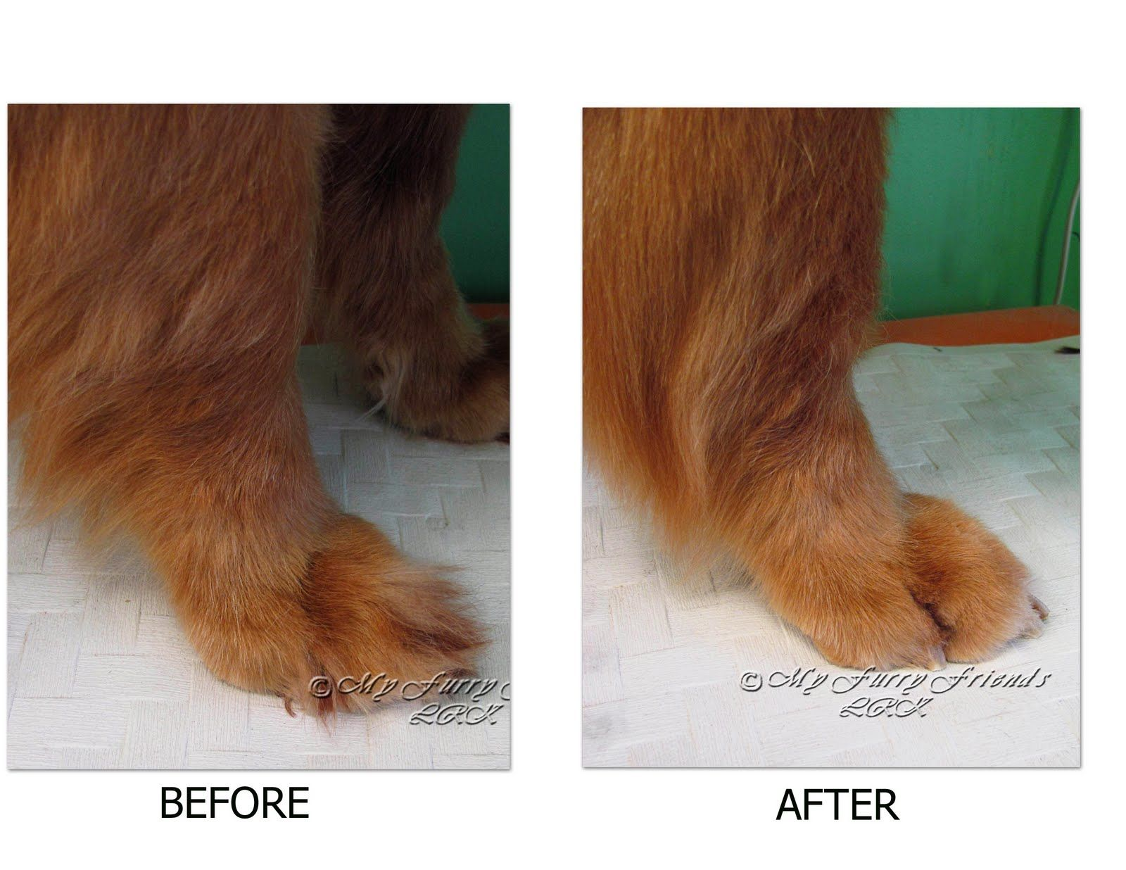 Grooming A Golden Retriever Short But Not Shaved Golden