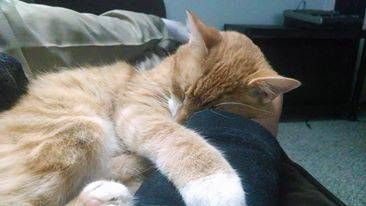 Orange Tabby White Belly Missing Stonington Borough Reward For
