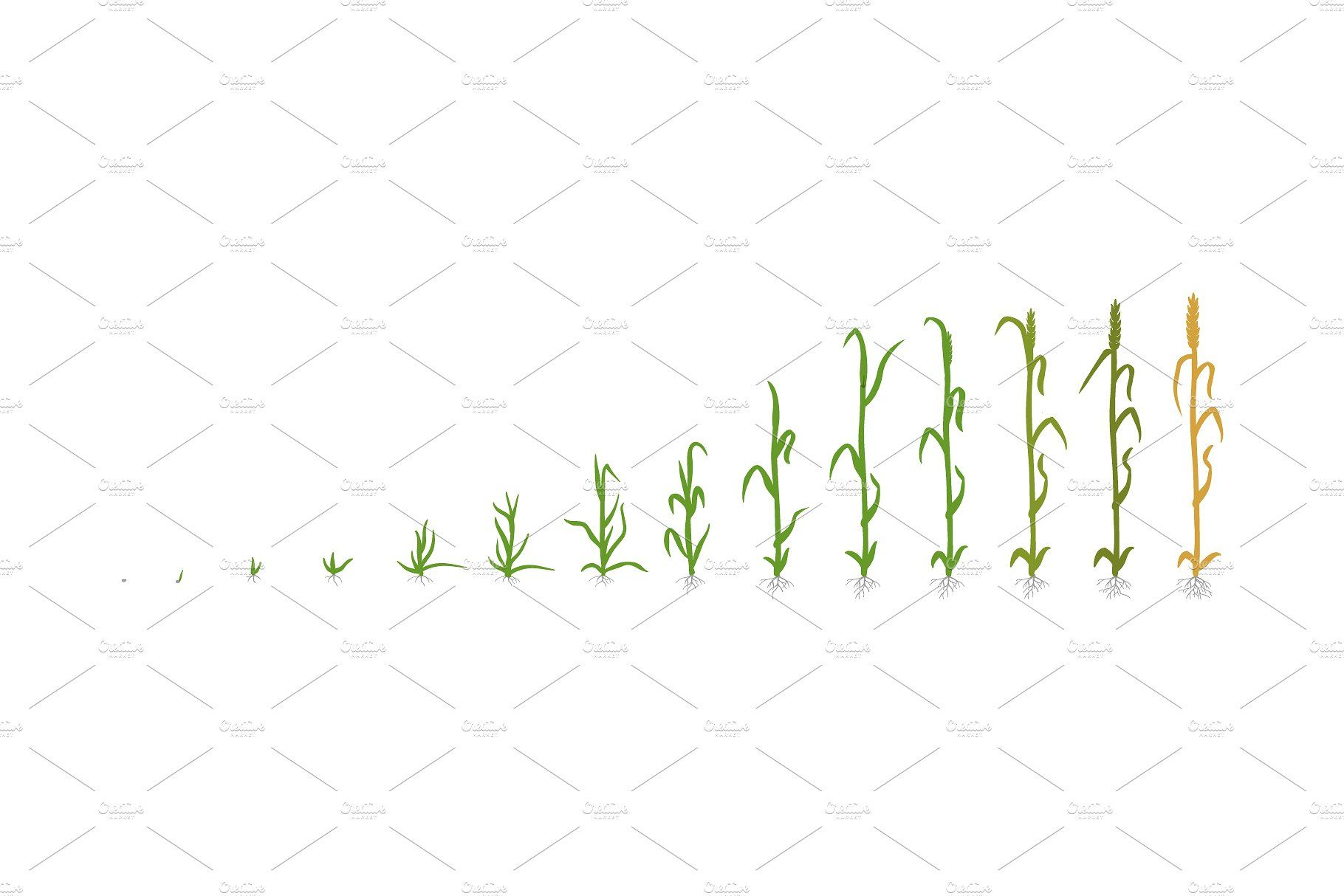 Vegetable Crop Growth Stages Planting Sunflowers Vegetables Wheat Grass
