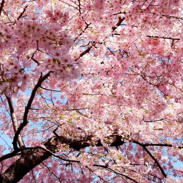 Osaka Japan Cherry Blossom Background Cherry Blossom Tree Flowering Cherry Tree