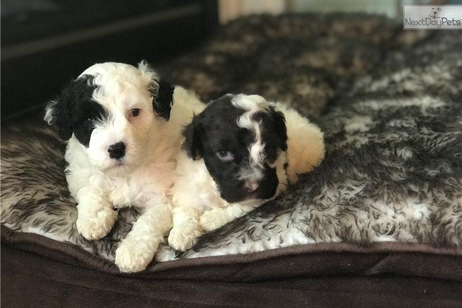 Male 1: Portuguese Water Dog puppy for sale near Twin Falls