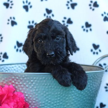 Cane Corso Poodle Standard Mix Puppy For Sale In Gap Pa Adn