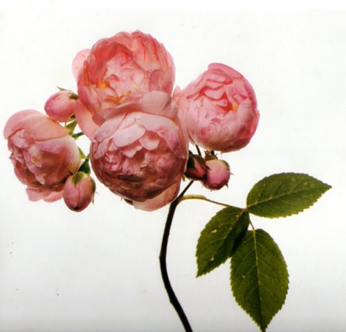 Irving Penn's flower photos // 1971 issue of Vogue. Looks like my beloved St. Cecelia rose...