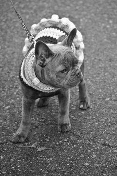 Seattle Washington Usa French Bulldog Puppies French