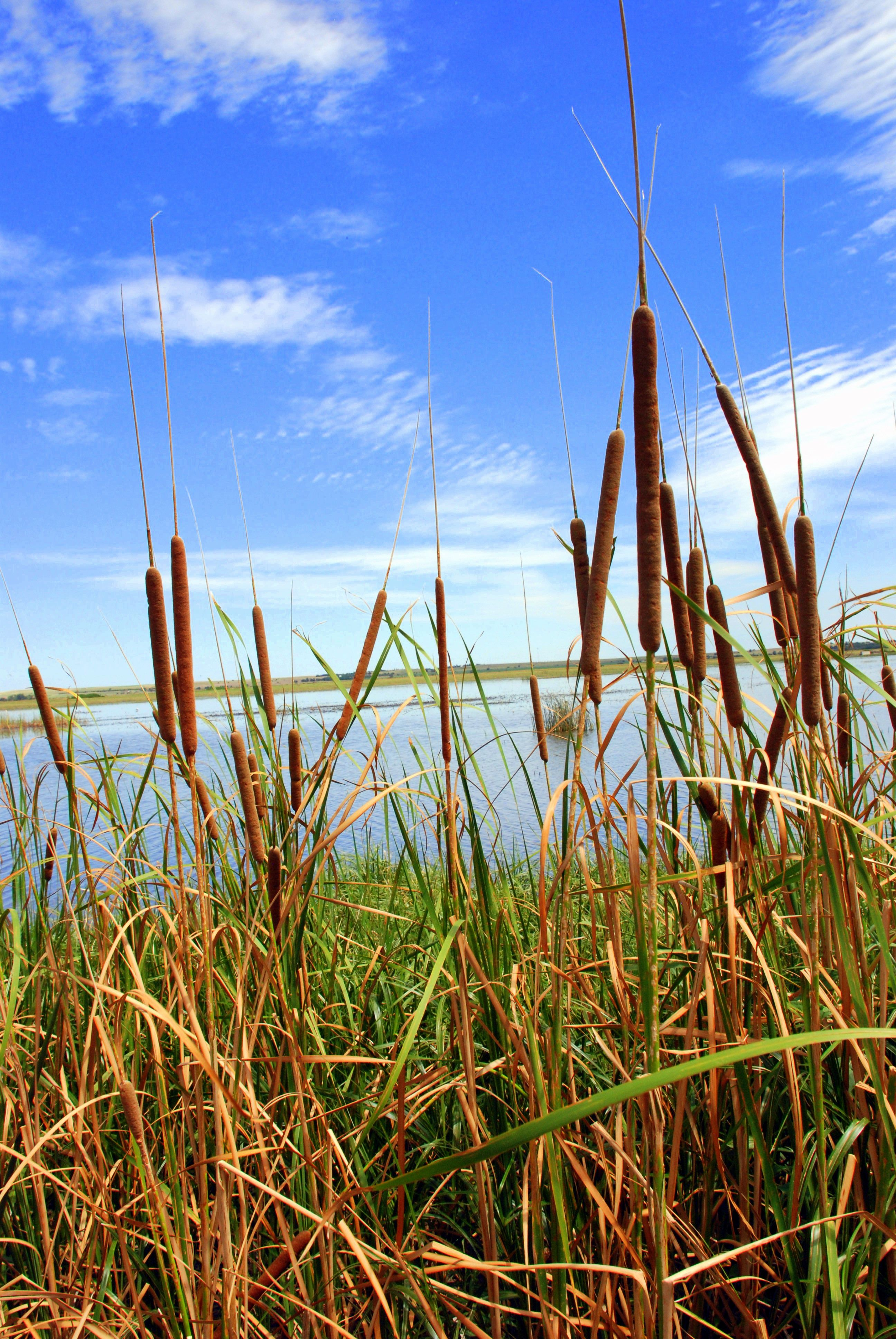 Some cat tails at Cheyenne Bottoms. A beautiful Wetland that migratory birds rest at during their migratory flights.