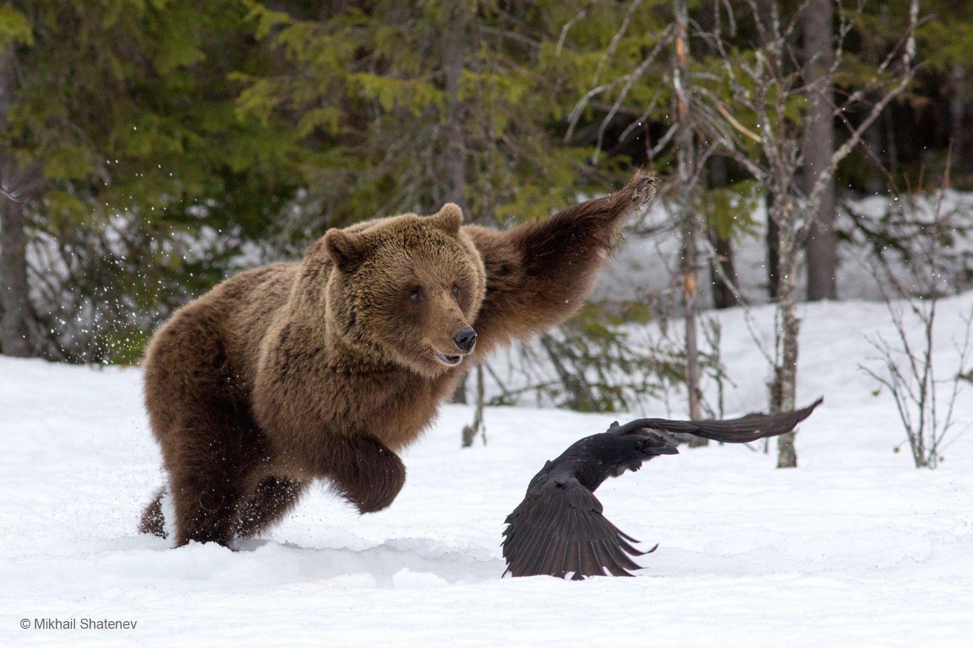 отдельной картинки диких зверей россии тому же, для