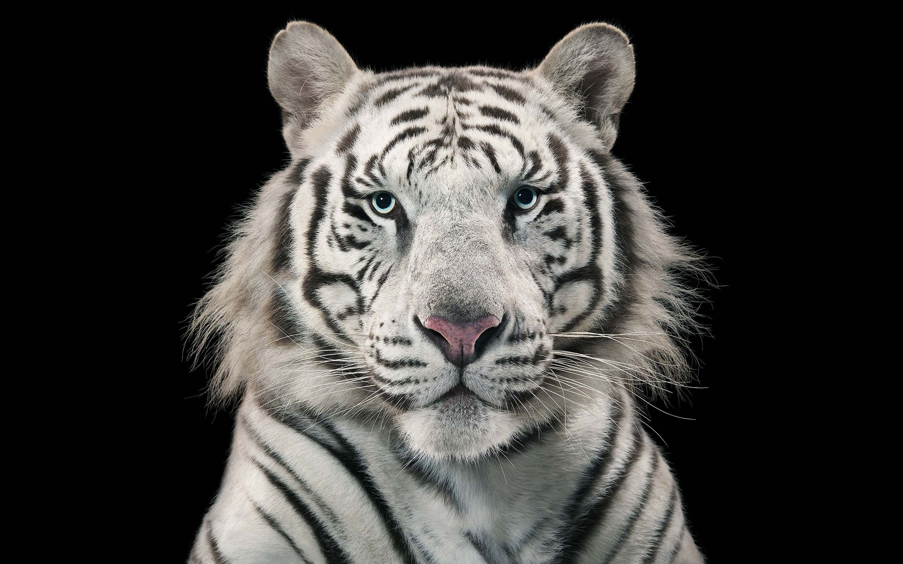 white tiger hd wallpapers wallpaper hd wallpapers pinterest