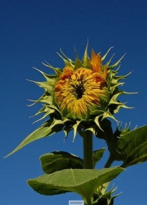 The Sunflower Also Rises 4 Photo Essay With Images Photo Essay Photo 4 Photos
