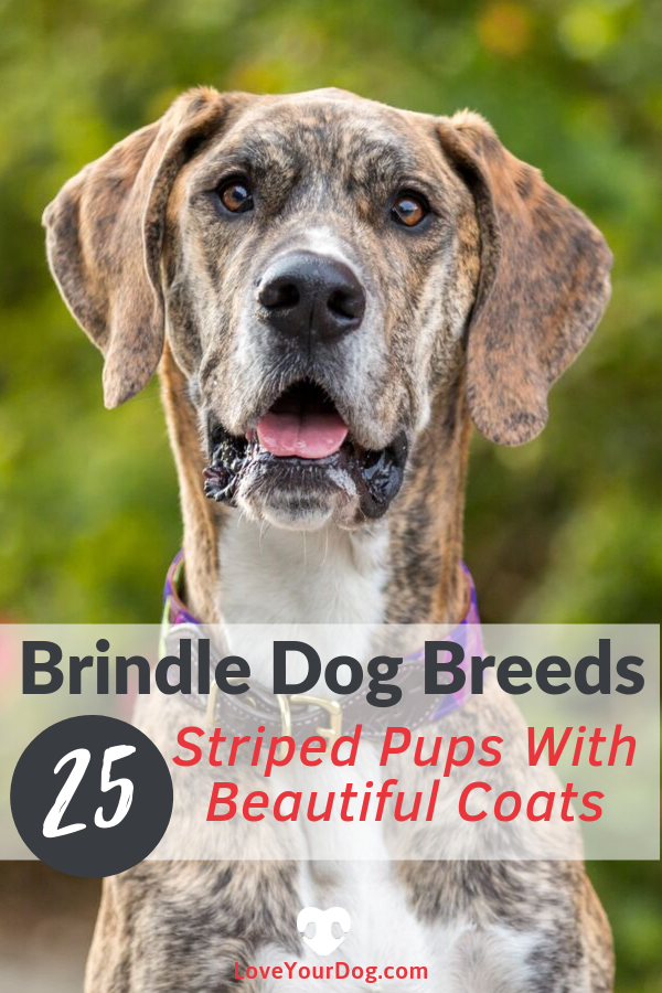 Brindle Dog Breeds 25 Striped Pups With Beautiful Coats