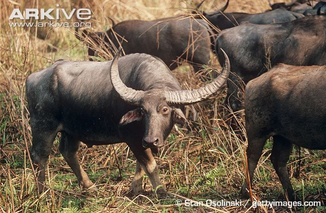 Asian or african ox