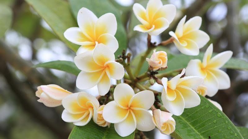 31 Gambar Bunga Kamboja Untuk Diwarnai Di 2020 Menanam Bunga