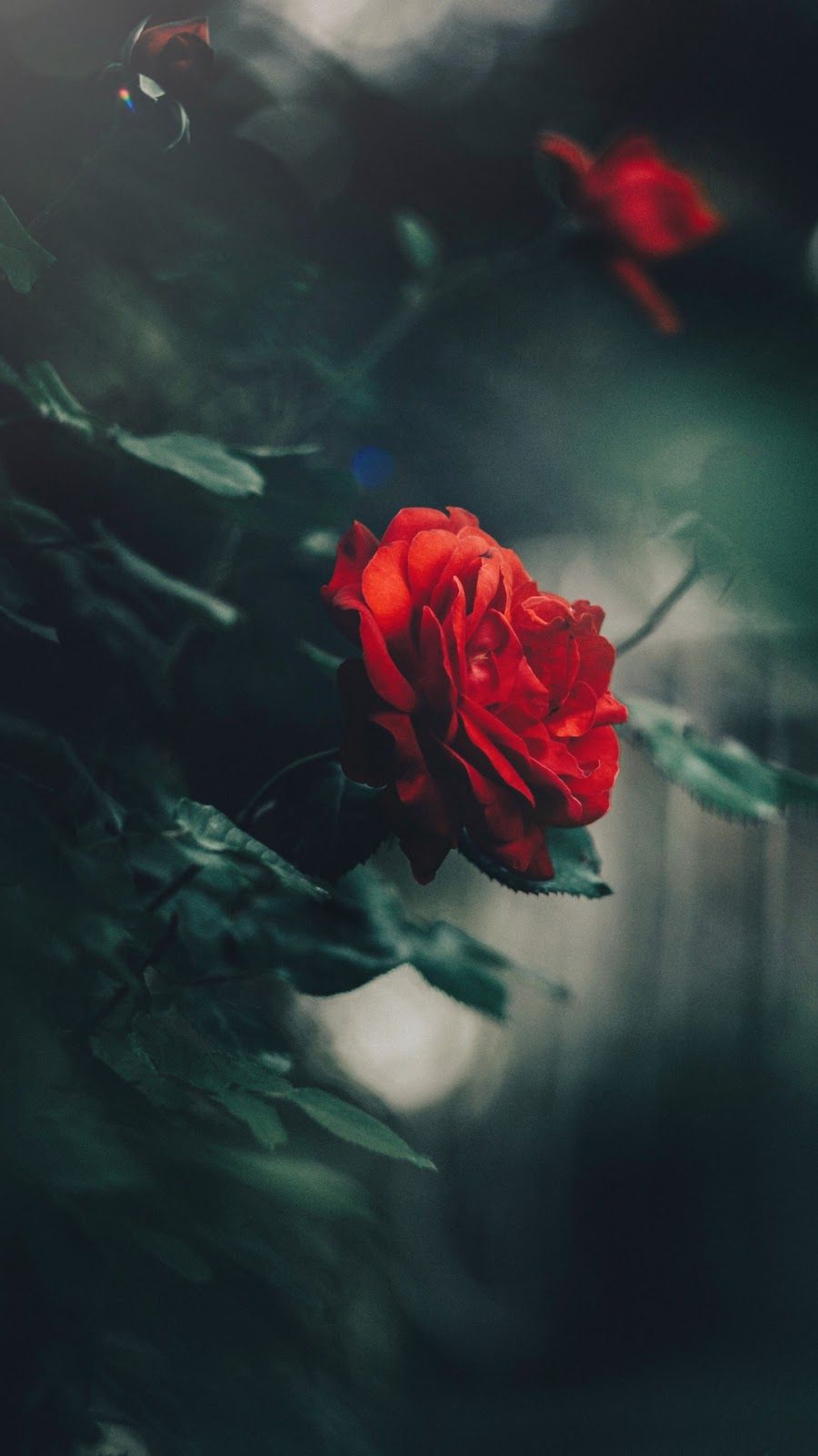 Red rose beautiful wallpaper flowers rose flower - Rose flowers wallpaper for mobile ...