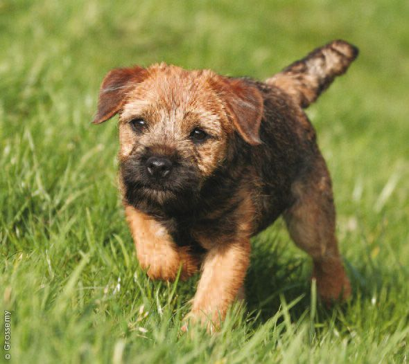 I Want A Dog Just Like This One Border Terrier Border Terrier