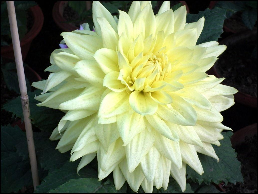 Lime color dahlia light yellow flowers dahlia flowers dahlias lime color dahlia light yellow flowers dahlia flowers dahlias dahlia wallpaper izmirmasajfo