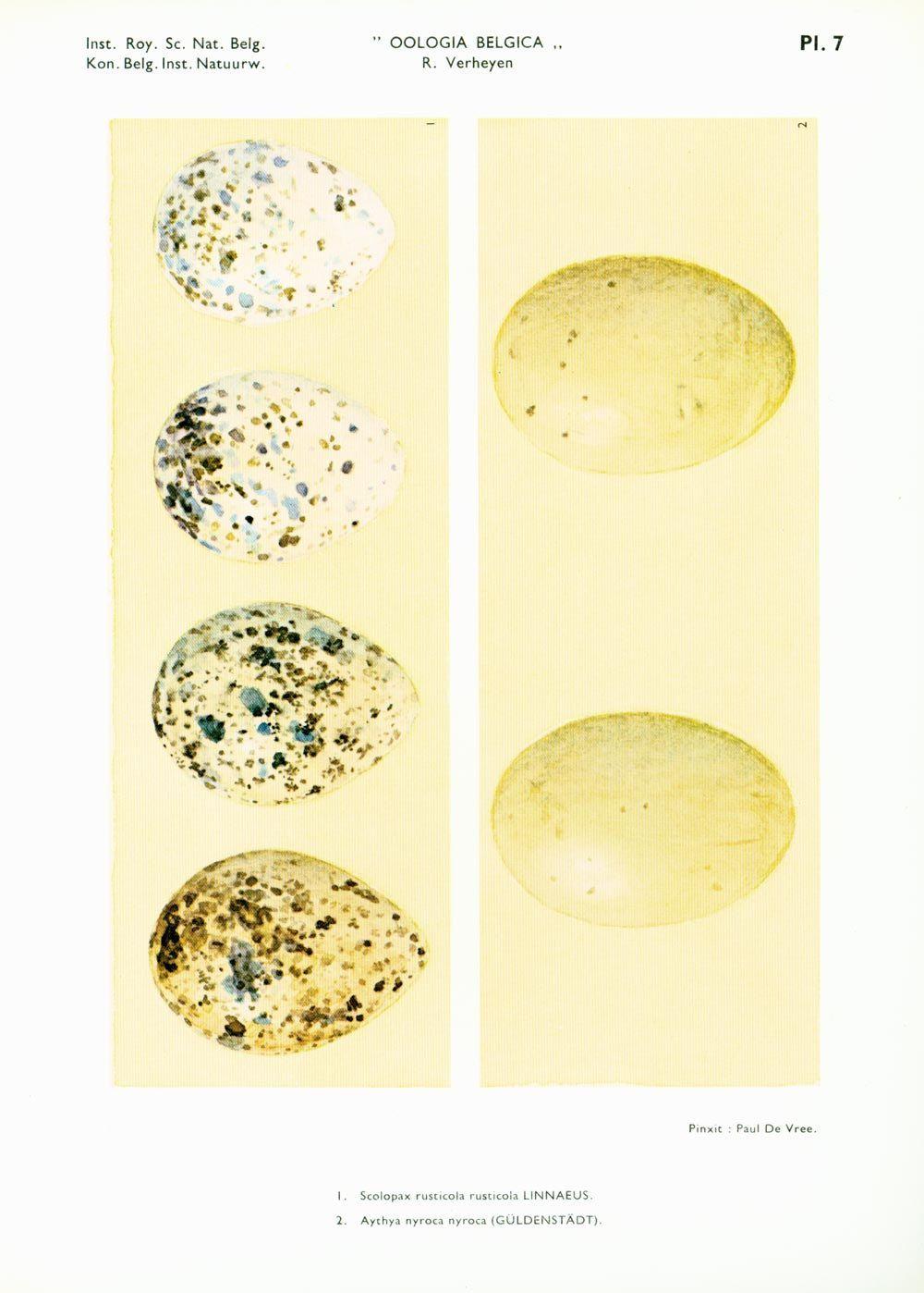1967 Vintage Bird Egg Print. Eggs Identification Chart. Duck ...