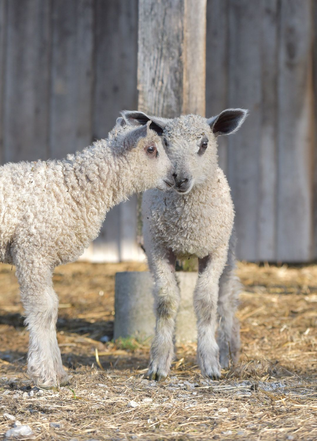 These Sweet Lambs Are From Tanglewood Farm In Versailles Kentucky They Are Wensleydale Bluefaced Leicester Pronounced Lester Lamb Animals Sheep And Lamb