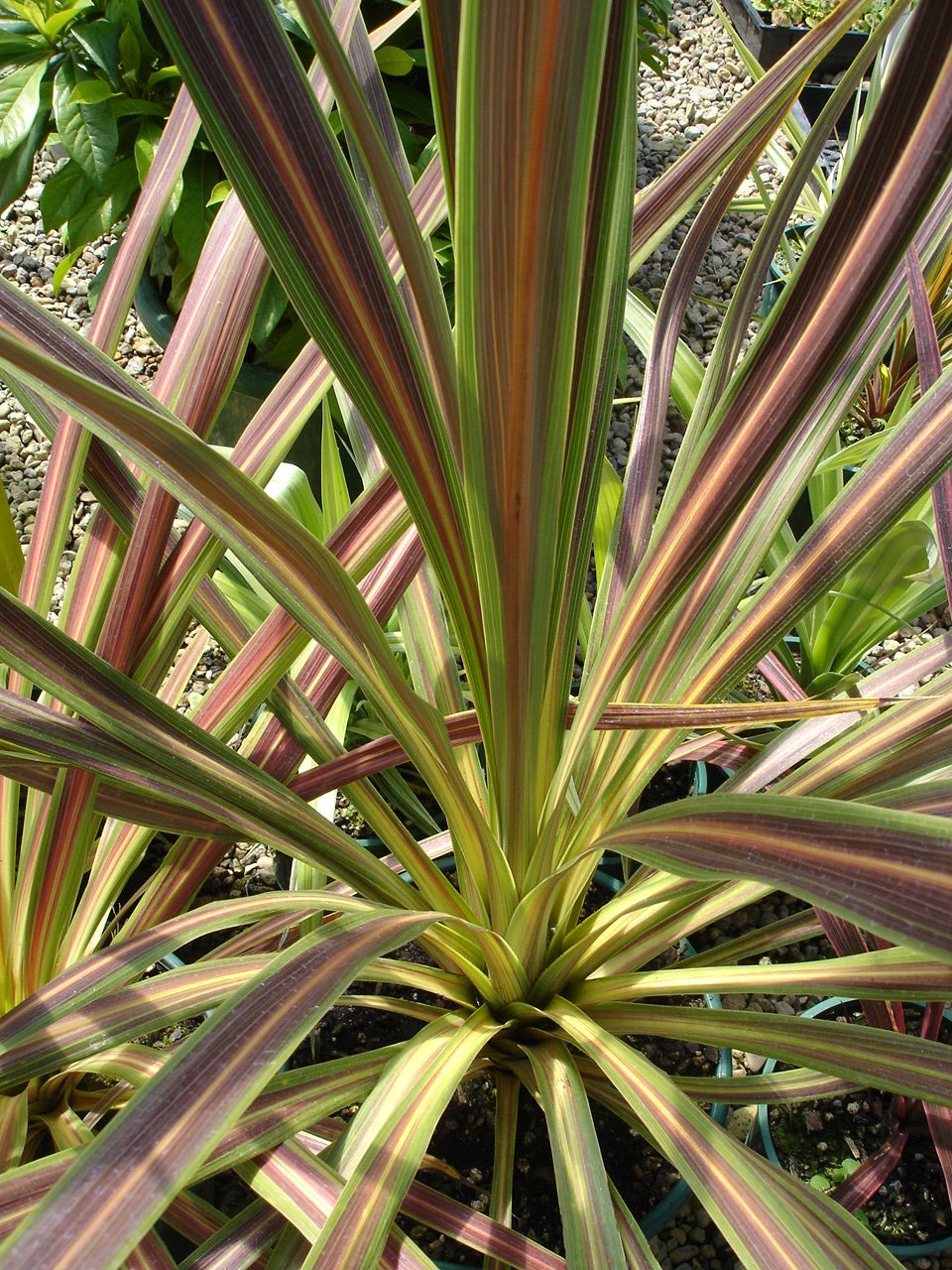 Cordyline Australis Tropical House Plants Cool Plants Torbay