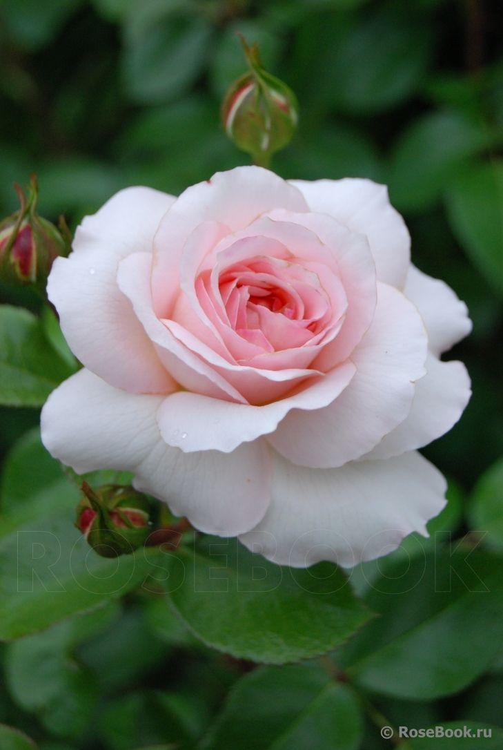 каждой роза консул фото розебук концу