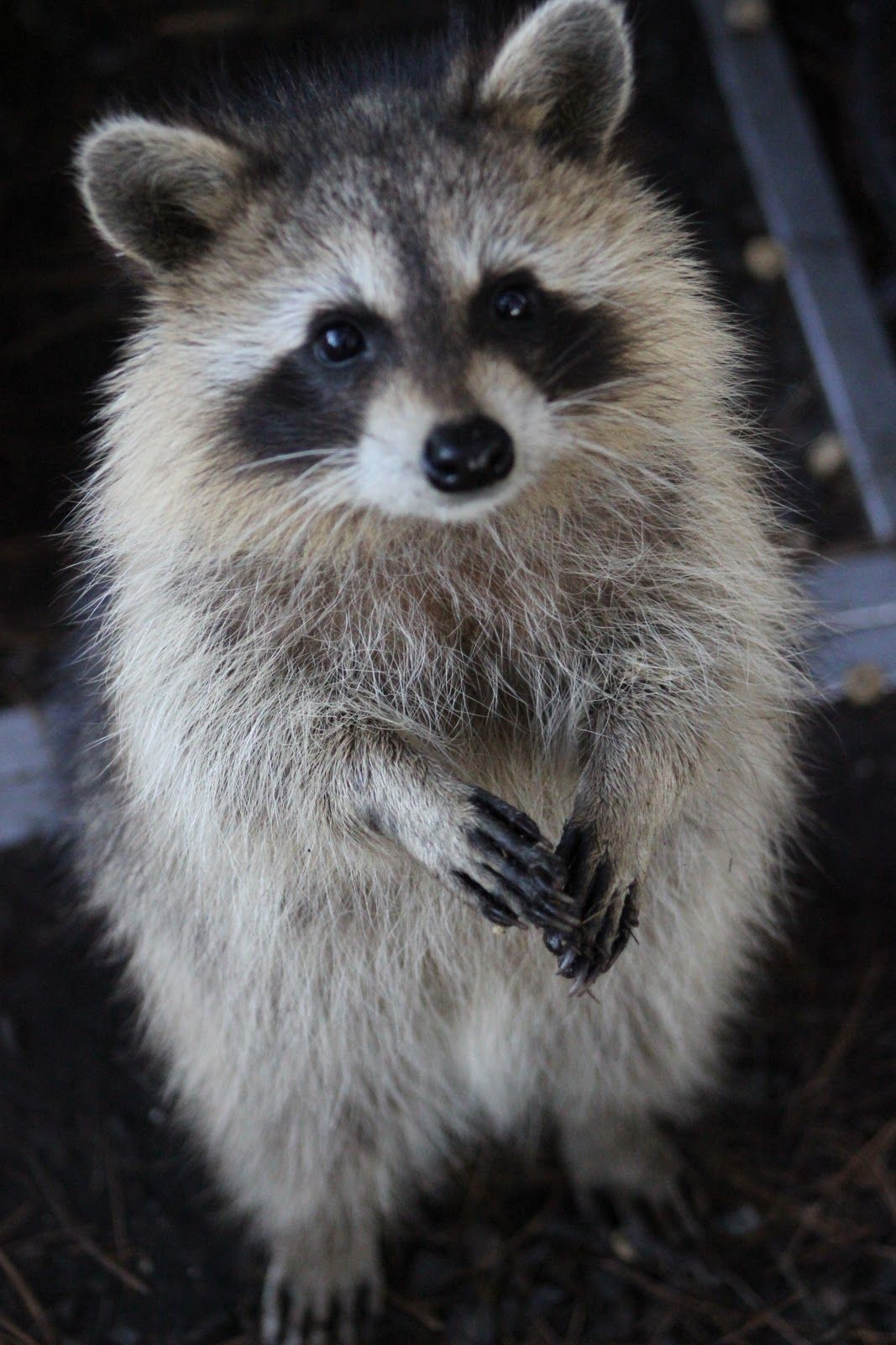 raccoon online dating Xraccoon 65 likes the best porn site ever (probably) visit it now and judge by yourself.