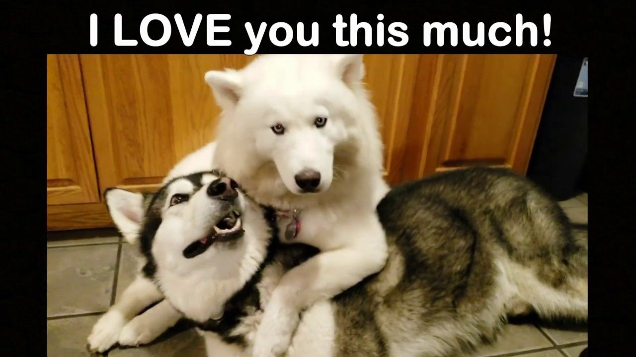 Husky Pins Malamute Down And Does This Husky Malamute Fur Babies